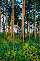 Saw-palmetto and slash pines<br />