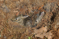Eastern Cottontails (Sylvilagus floridanus) in Nest. One week to 10 days old, almost ready to leave the nest. Spring. Near Niagara Falls, Ontario. Canada.