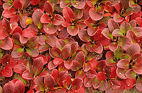 Bearberry, Scientific name: Arctostaphylos, with autumn color near Whitefish Lake in the Thelon River Valley, Northwest Territories, Canada, AGPix_0130.