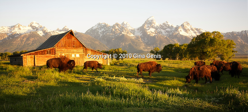 Bison grazing at the Mormon Row Barns, Grand Tetons