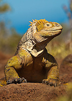A Galapagos Land Iguana gives us a little smirk
