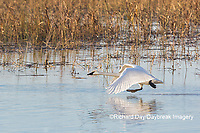 00758-02204 Trumpeter Swans (Cygnus buccinator) taking off from wetland Riverlands Migratory Bird Sanctuary St. Charles Co., MO