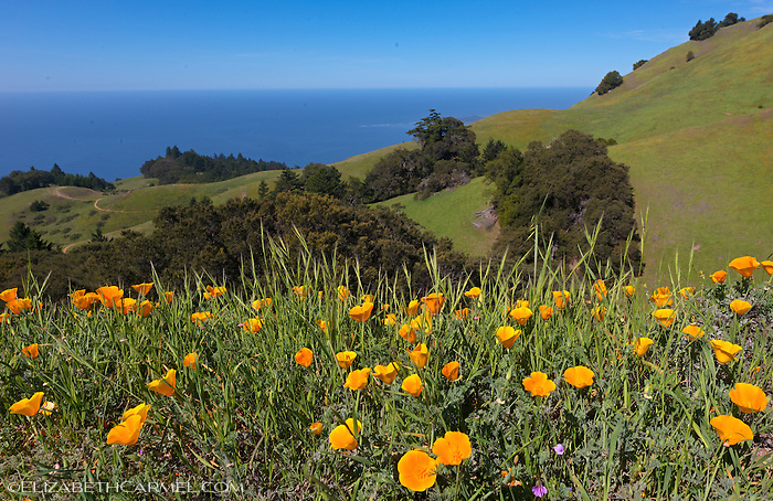 Mt. Tam Poppies