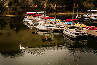 An American White Pelican paddles past the rental pontoon patio boats and paddle boats at an urban regional park marina.