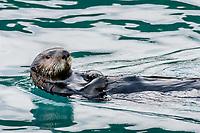 Adult Sea Otter (Enhydra lutris) swimming on back,  Prince William Sound, Alaska.