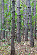 A Red Pine Forest ( Pinus resinosa ) during the summer months in Albany, New Hampshire USA.