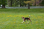 American Foxhound<br />