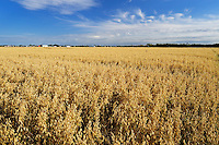 Field of oats<br /> Arcola<br /> Saskatchewan<br /> Canada