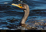 Cormorant Double-crested Cormorant Sanibel Island Florida Close Portrait