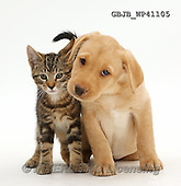 Kim, ANIMALS, REALISTISCHE TIERE, ANIMALES REALISTICOS, fondless, photos,+Tabby kitten, Picasso, 10 weeks old, with cute Yellow Labrador puppy, 9 weeks old,++++,GBJBWP41105,#a#