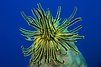 noble feather star or crinoid, Comanthina nobilis, Surin Islands, Thailand, (Andaman Sea, Indian Ocean)