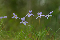 Birdfoot Violet (Viola pedata), blooming, Big Thicket National Preserve, Texas, USA