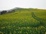 Field of oil seed rape, Kimmeridge, Dorset