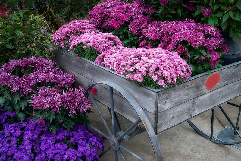 Mum flowers in wheelbarrow display.