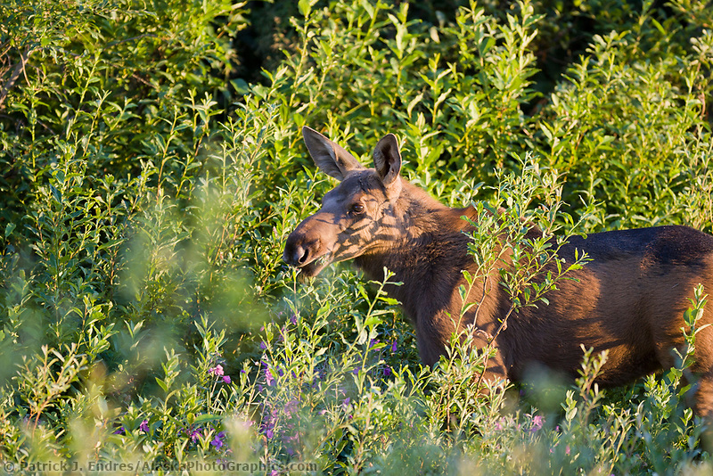 Moose calf, Portage Valley, Kenai Peninsula, Alaska