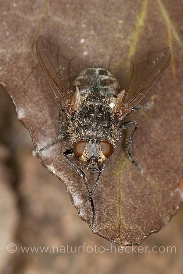 Polsterfliege, Polster-Fliege, Schmeißfliege, putzt sich mit den Vorderbeinen, Pollenia spec., Calliphoridae, Schmeißfliegen, Fleischfliege, Fleischfliegen, cluster fly, Cluster flies, blowfly
