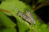 Kleiner Pappelbock, Espenbock, Kleiner Aspenbock, Paarung, Kopulation, Saperda populnea, Small poplar longhorn beetle, Small poplar borer, pairing, copulation