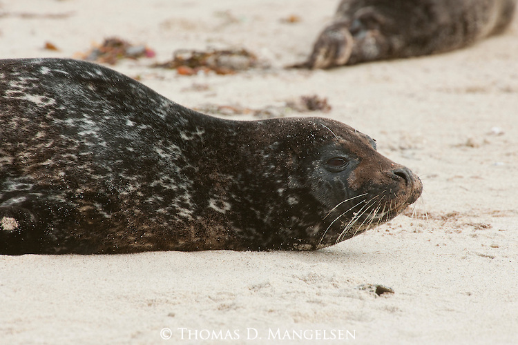 A harbor seals lays on the sand on Children's Pool beach on the coast of La Jolla, California.