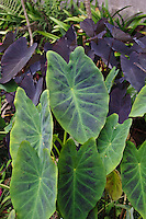 Kalo (or taro) plants, Big Island.