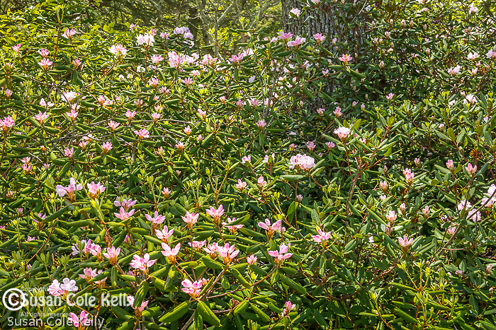 Rhododendron blooming at Maudslay State Park in Newburyport, Massachusetts, USA