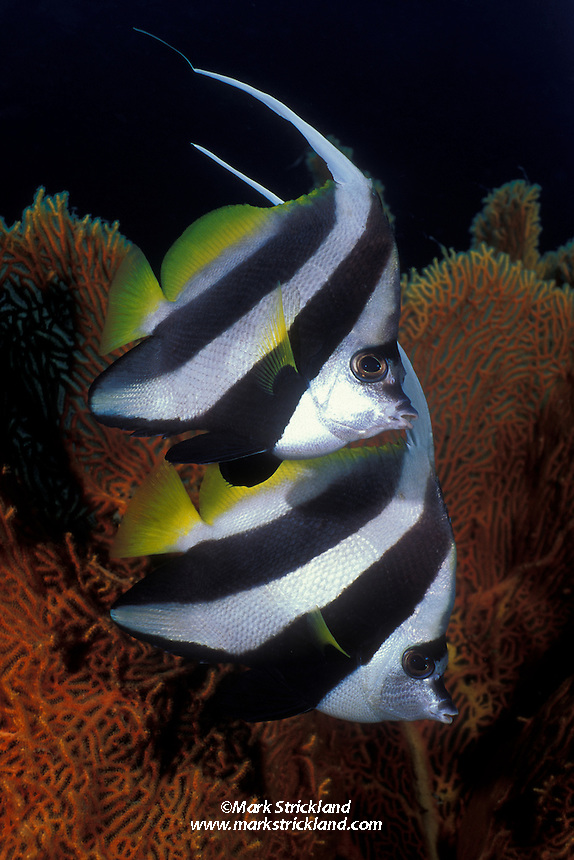 A pair of Reef Bannerfish, Heniochus accuminatus, hover near a fan coral. Similan Islands Marine National Park, Thailand, Andaman Sea, Indian Ocean