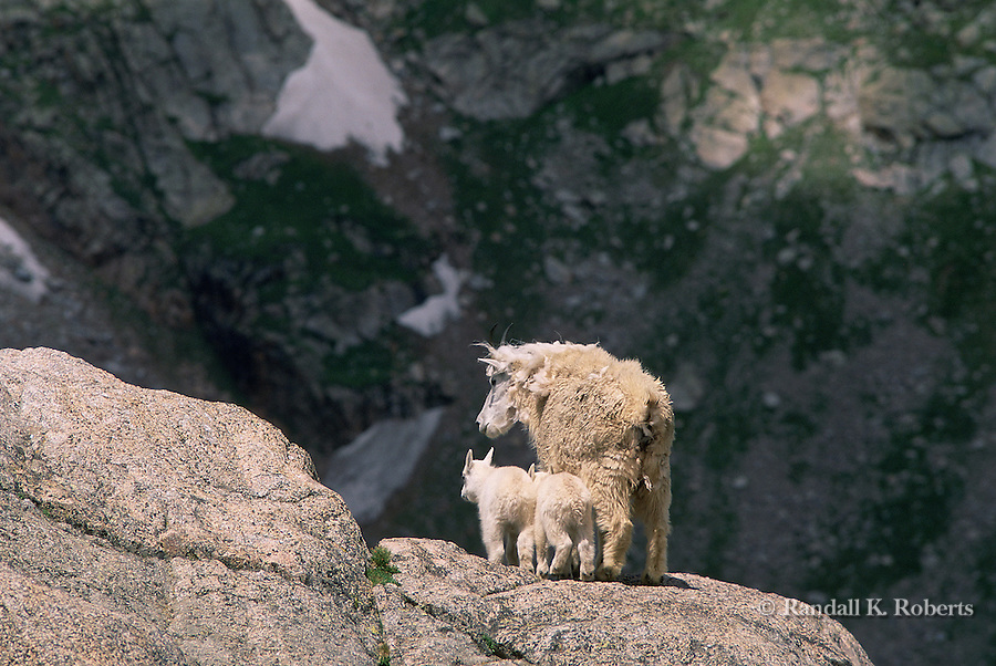 Mountain goat nanny protects two young kids, Mt. Evans, colorado