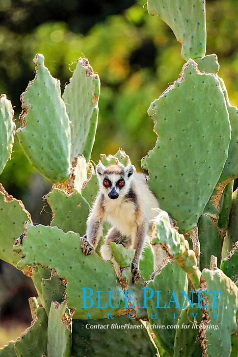 Ring-tailed Lemur (Lemur catta), adult, on a cactus, Berenty Game Reserve, Madagascar, Africa