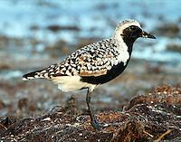 Male black-bellied plover