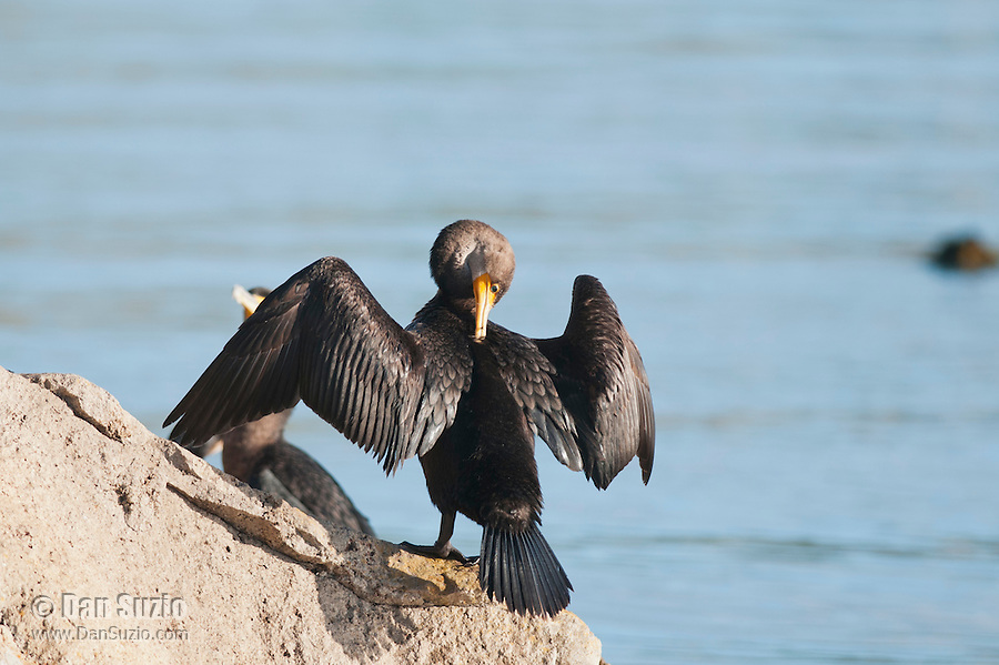 A double-crested cormorant, Phalacrocorax auritus, holds its wings out to dry in the sun. Morro Bay, California