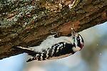 Downy Woodpecker, Picoides pubescens