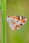 Pearly Crescent butterfly-ventral view.