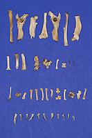 Untersuchung von einem Gewölle einer Eule, Uhu, Uhugewölle, Speiballen, die unverdauten Knochen als Nahrungsreste wurden aus einem Geölle heraus sortiert, Uhu hat einen Igel gefressen, verschiedene Knochen, Stacheln und Krallen als unverdauliche Nahrungsreste