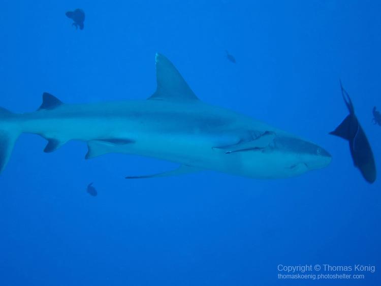 Blue Corner, Palau -- Gray reef shark on the prowl.