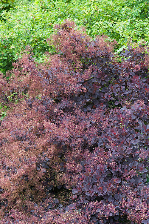Cotinus coggygria 'Royal Purple', late June.