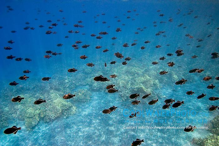 schooling black triggerfish, Melichthys niger, Kealakekua Bay, Big Island, Hawaii, Pacific Ocean