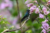 Bob, ANIMALS, REALISTISCHE TIERE, ANIMALES REALISTICOS, wildlife, photos+++++,GBLA3920,#a#, EVERYDAY ,hummingbaird,hummingbirds