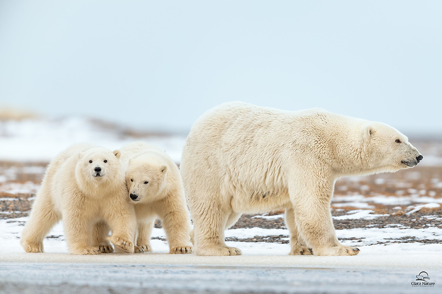 We've seen many images of Polar Bear mothers emerging from their dens with tiny newborn cubs . . . Some day we will do that trip! In the meantime we enjoyed watching a couple mothers with their spring cubs in Kaktovik as the freeze up approached. These cubs were probably born in February. They are heading towards their first winter on the sea ice. Mom at times seems exasperated by them (especially the little male in the center here) but it almost seems like she's proudly showing them off to the boat full of humans off the coast.