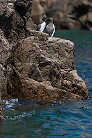 Royaume-Uni, îles Anglo-Normandes, île de Sark (Sercq) Les Autelets : Guillemot de Troïl  // United Kingdom, Channel Islands, Sark Island (Sercq) :  Common Guillemot