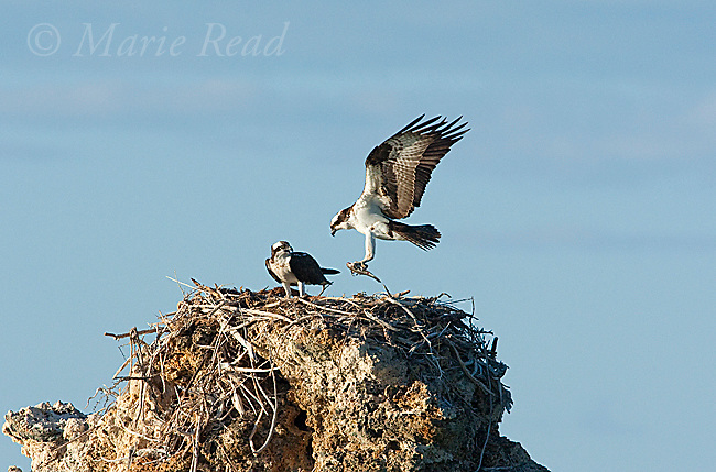 Osprey (Pandion haliaetus) one carrying fish lands near its mate on their nest on top of tufa tower, Mono Lake, California, USA