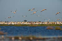 Great White Pelicans at Lake Xau taking flight
