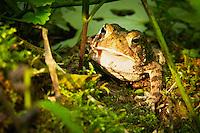 Eastern American Toad (Bufo americanus)