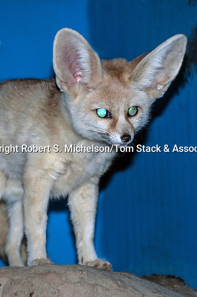 fennec fox full body view at night, vertical