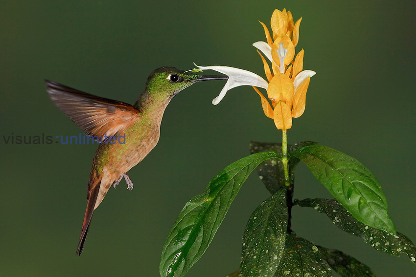 Fawn-breasted Brilliant (Heliodoxa rubinoides) feeding at a flower while flying in the Tandayapa Valley of Ecuador.