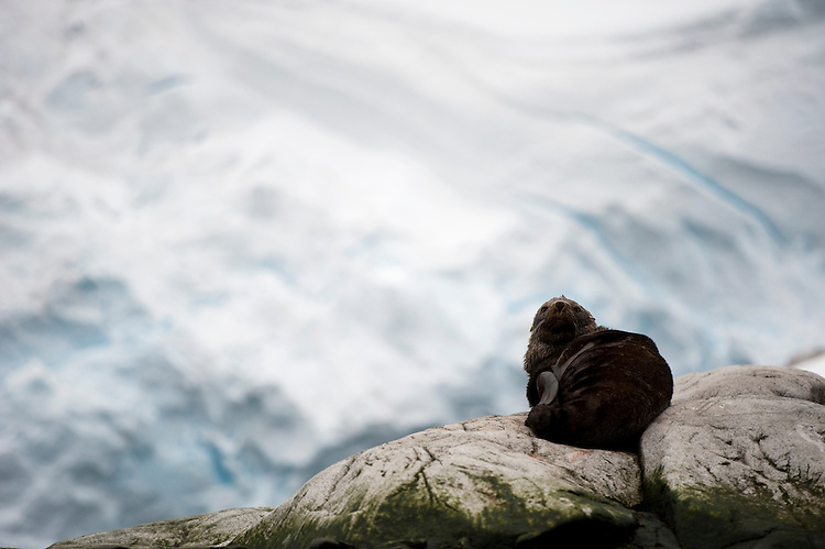Antarctic fur seal (Arctocephalus gazella), sitting on rock, galcier in background, Antarctic peninsula on Melchior Island
