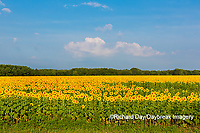 63801-07507 Sunflower field Sam Parr State Park Jasper County, IL