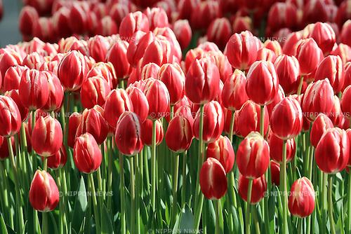 January 15, 2017, Fujisawa, Japan - Colorful tulips are fully bloomed at the Samuel Cocking Garden in Enoshima island in Fujisawa, suburban Tokyo on Sunday, January 15, 2017. People enjoy Some 20,000 tulips at the Garden for the Enoshima Winter Tulips festival.   (Photo by Yoshio Tsunoda/AFLO) LWX -ytd-