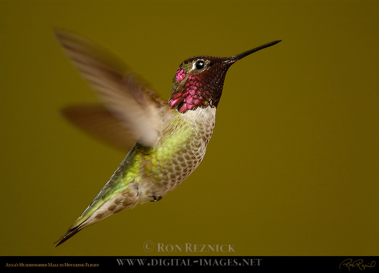 Anna's Hummingbird Male in Hovering Flight, Southern California