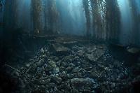 A kelp forest grows on a rocky bottom near Santa Barbara Island of the Santa Barbara Island, Channel Islands National Park, California, USA, Pacific Ocean
