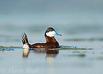 """Ruddy Duck (Oxyura jamaicensis) male with tail raised during courtship display (""""bubble display""""), Bowdoin National Wildlife Refuge, Montana, USA"""
