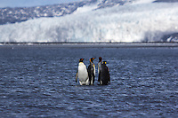 King Penguins wade in the shallows at Heard Island, Antarctica